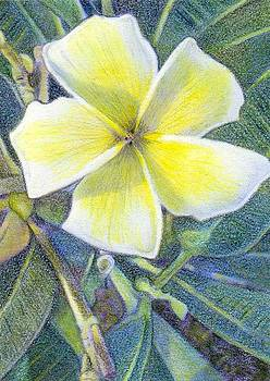 Frangipani ACEO by Bonnie Haversat