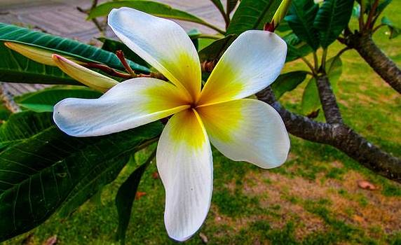 Frangipani Flower by Cesar Vieira