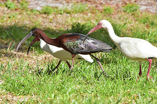 Fraternal Ibis Twins by William Tasker