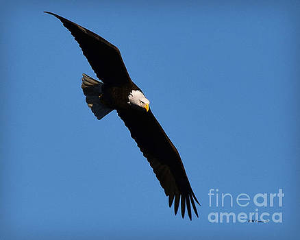 Free Flying Bald Eagle by Kathy M Krause