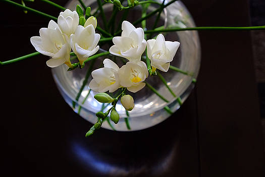 Freesia in bloom by August Timmermans