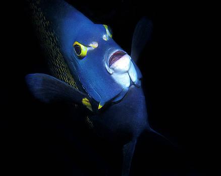 Pauline Walsh Jacobson - French Angelfish, Roatan, Honduras