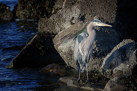 Randy Hall - French Creek Heron