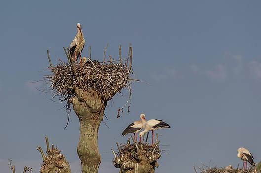French Storks 01 by Teresa Mucha