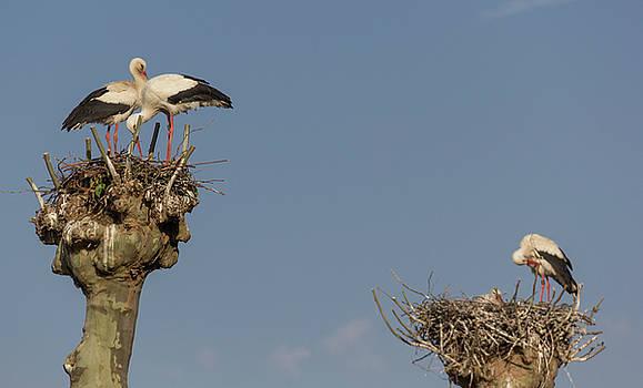 French Storks 02 by Teresa Mucha