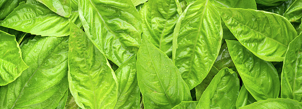 Fresh Basil Panorama by Steve Gadomski
