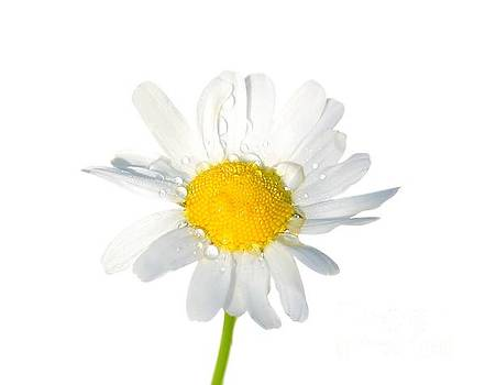 Fresh Daisy With Dew Drops by Susan Wall