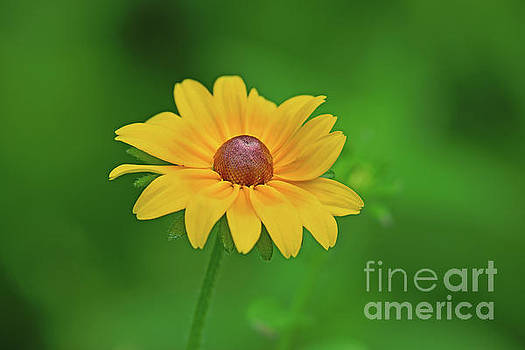 Fresh-Eyed-Susan by Robin Clifton