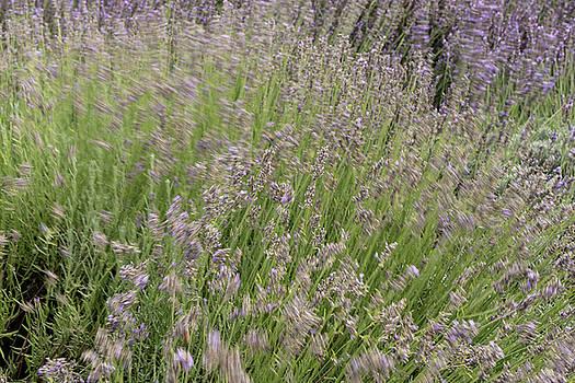 Michalakis Ppalis - Fresh green blooming field of lavender herbal plants.