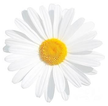 Fresh White Daisy by Susan Wall