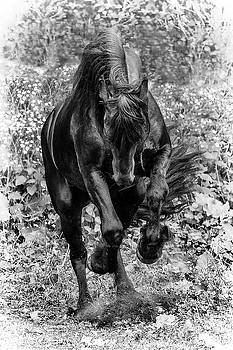 Friesian Stallion by Wes and Dotty Weber