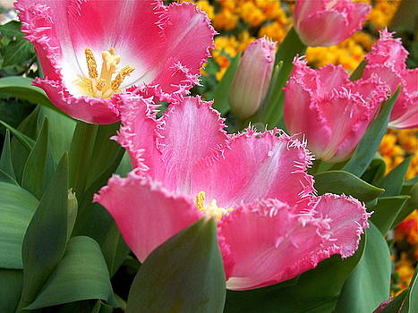 Fringed Tulips by Maria Mills