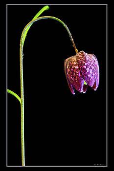 Fritillaria meleagris, Snakes Head fritillary by Andy Myatt