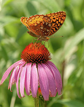 Fritillary And Cone Flower 2018-2 by Lara Ellis