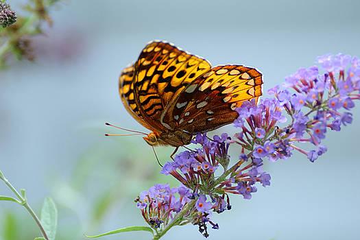 Edward Sobuta - Fritillary Butterfly