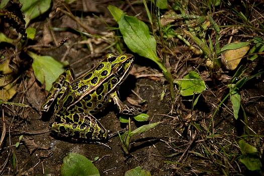 Frog by Cowboy Visions
