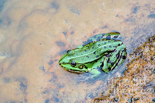 Frog in a pond by Amanda Mohler