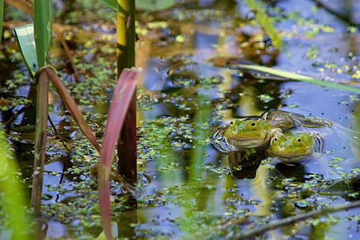 Frog Pair in Pond by Fedil