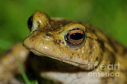 Frog posing by Steev Stamford