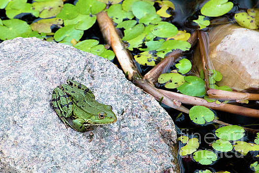 Frog sitting on a rock by Amanda Mohler