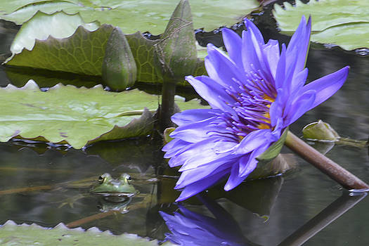 Frog with Water Lily by Linda Geiger