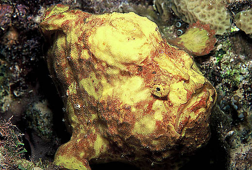 Frogfish by Raymond Jusseaume