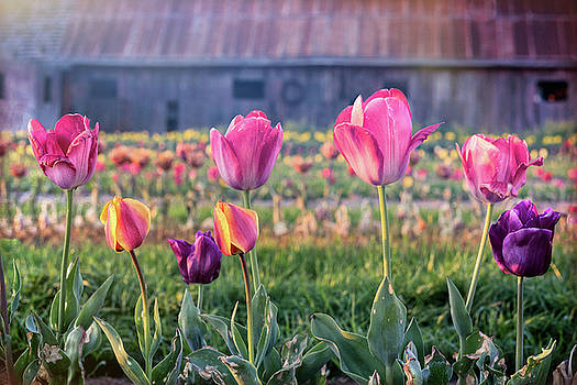 Front Row Tulips by Eric Bjerke Sr