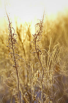 Frost covered withered flowers shimmering in the light of the rising sun by Ulrich Kunst And Bettina Scheidulin