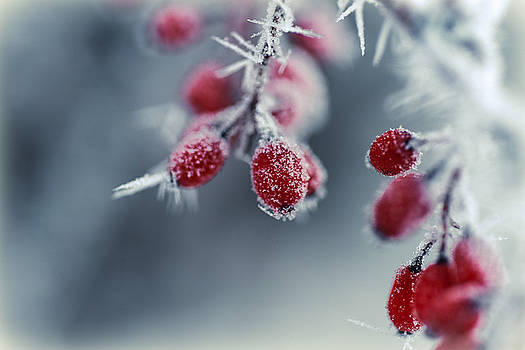 Frost-Kissed Berries by Betsy Armour