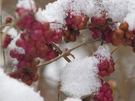 Frosted Berries Close Up by Hasani Blue