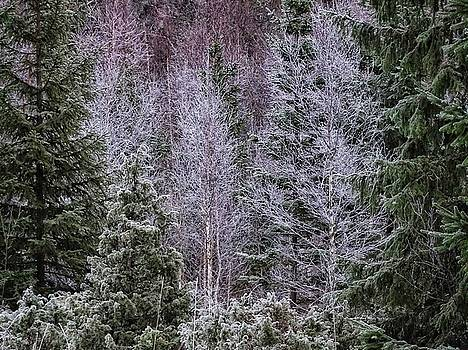 Frosted forest by Per Lidvall