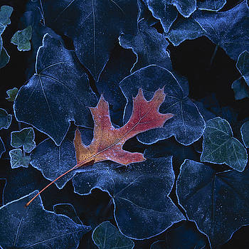 Frosted Leaf and Ivy by Rod Kaye
