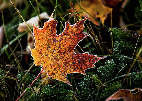 Frosted Leaf by Tim Kirchoff