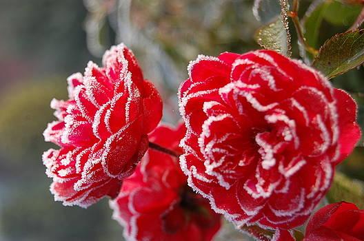 Frosted Roses by Olga Woronowicz