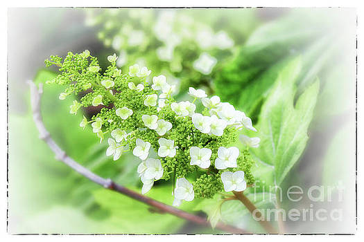 Frosted Snow Queen Hydrangea with Border by Karen Adams