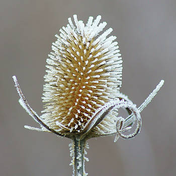 Nikolyn McDonald - Frosted Teasel