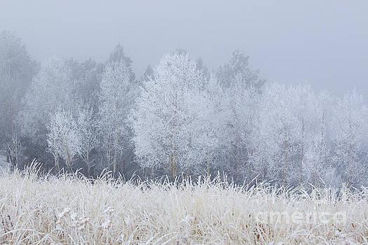Steve Krull - Frosty Aspen Grove on Bald Mountain