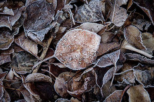 Frosty Leaves in a Small Pile by YoPedro