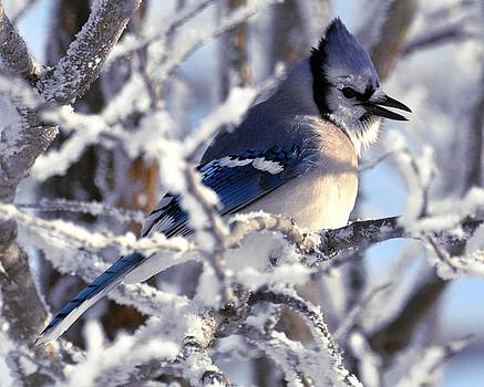 Frosty Morning Blue Jay by Fred Zilch