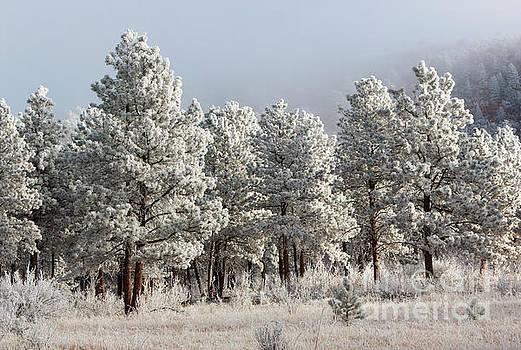 Steve Krull - Frosty Pikes Peak Forest