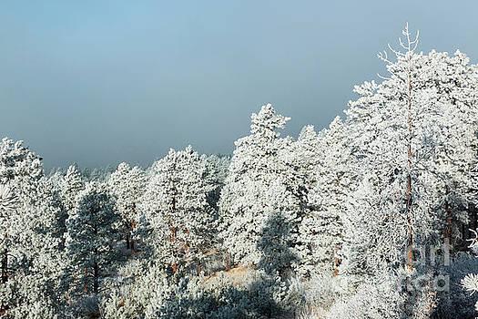 Steve Krull - Frosty Pikes Peak Pines