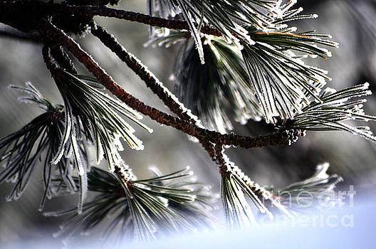 Frosty pine tree - Winter in Switzerland by Susanne Van Hulst