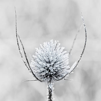 Frosty Thistle by Nick Bywater