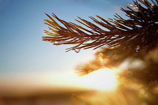 Frozen dew drops glittering on a pine twig by Ulrich Kunst And Bettina Scheidulin