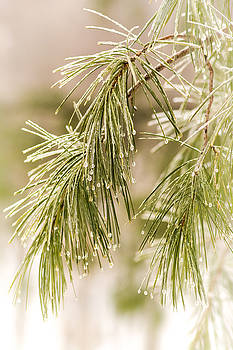 Frozen Droplets on Pine Needles by Cora Ahearn