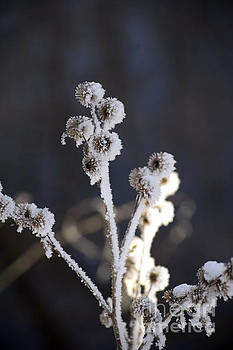 Frozen Flowers by Elaine Mikkelstrup