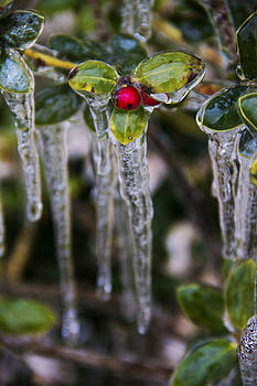 Frozen Holly Berry by Cassandra NightThunder