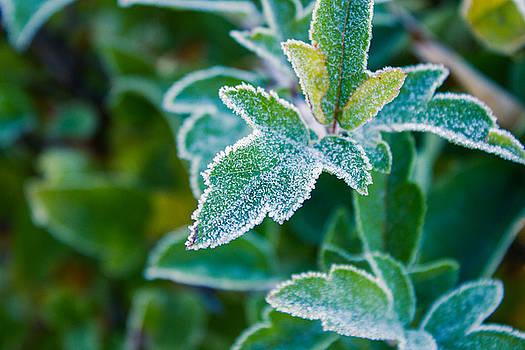 Frozen leaf by Cindy Grundsten