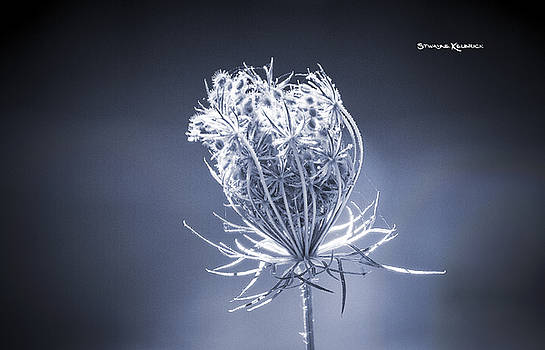 Frozen wildflower by Stwayne Keubrick