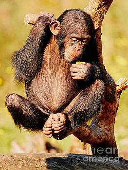 Fruit-eating baby chimp in a tree by Nick  Biemans